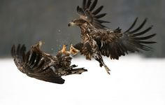 """Shake Hands - A very friendly :D mid air handshake between these two youngsters (juvenile White-tailed Eagles)  Shot taken near Kutno in mid Poland.   A big thanks to Marcin Nawrocki <a href=""""http://www.polandwildlife.com"""">Poland Wildlife</a> and his cousin Alexander for the great time I've had.  ©<a href=""""http://www.hewaph.com"""">Harry Eggens</a>  Best wishes,  Harry"""