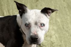Athena is an adoptable Pit Bull Terrier Dog in Polson, MT. Athena is about 6 years old and as sweet as can be. She is blind and therefore will need a home conducive to her condition. She has great hea...