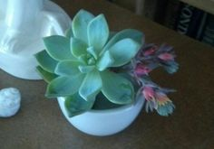 Table decoration - succulent plus flower from another succulent