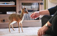 This is a dik dik...unfortunate name, but so cute!!!! It's technically an antelope, but it's close enough to a deer. :) They can grow to anywhere from 8 inches to 16 inches and weigh 15-17 lbs. LOVE.