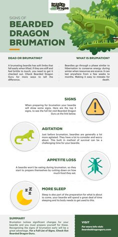 Could you tell when a bearded dragon is about to go into brumation? There are many signs of when a beardie is about to brumate, here are the top 3 but there is a full list at Bearded Dragon Guru, you should go check it out Bearded Dragon Vivarium, Bearded Dragon Enclosure, Bearded Dragon Habitat, Bearded Dragon Heat Lamp, Bearded Dragon Food, Pet Guinea Pigs, Guinea Pig Care, Bearded Dragon Supplies, Dragon Facts