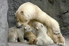 A polar bear seen with her two cubs in the Moscow Zoo. Polar Cub, Baby Polar Bears, Teddy Bears, Animal Pictures, Cute Pictures, Baby Animals, Cute Animals, Love Bear, Viajes