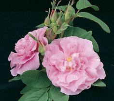 Deep rosy buds open to large, rich pink double blooms with a moderately spicy fragrance. Grandmas Garden, Seaside Garden, White Flower Farm, Types Of Roses, Shrub Roses, Garden Shrubs, Beach Gardens, Antique Roses, Trees And Shrubs