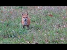 Maine Red Fox Coming in on a string!