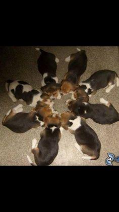 Beagle heaven❤️❤️❤️