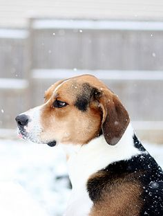 Juco (English Foxhound) by Cara_O, via Flickr. This is the closest resemblance to my dog that I have ever seen!