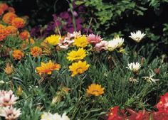 What to Plant Over Septic Field? Dahlias are good flowers to grow in a septic tank field.
