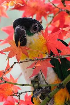 Autumn Caique!!