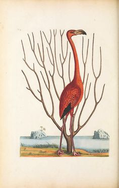 catesby flamingo antique bird prints . . . highly desirable quality giclee reproduction print on fine paper. Available in different sizes, unframed or framed in thin gold leaf, silver leaf or vintage open grain dark wood frame. Custom sizes available, call us for your interior design custom projects. Made in USA by Museum Outlets Vintage Birds, Vintage Prints, Vintage Bird Illustration, Bird Book, English Artists, Artist Life, Artist Gallery, Natural History, Hand Coloring