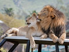 Can you feel the love tonight? Cue Elton John, The Lion King Soundtrack. (Photo by Darrell Ybarrondo)