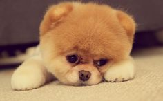 The #Pomeranian is so incredibly cute! Do you want to have a Pomeranian?