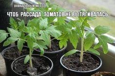 Что делать , чтоб рассада томатов не вытягивалась? Все гениальное — просто! Как только листья томатной рассады начинают соприкасаться с листьями соседних растений нужно «варварски обрезать» один или даже два нижних листа. При этом растение испытывает шок и прекращает рост в высоту примерно на неделю. Однако при этой остановке в росте происходит утолщение стебля, что собственно и требуется для выращивания мощной, коренастой рассады.