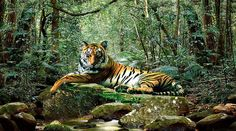 Tiger in Jungle Poster Print by Adrian Chesterman Jungle Art, Nature Animals, Wild Animals, Diamond Art, Wildlife Art, Artist Names, Black Canvas, Drawing Sketches, Drawings