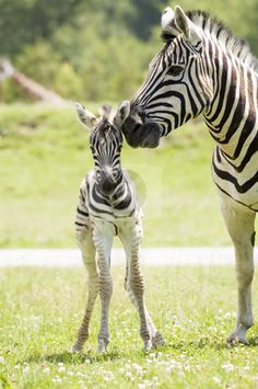 Mama & baby zebra