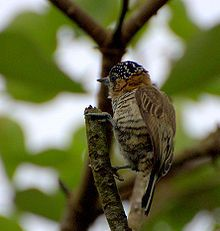 The ochre-collared piculet (Picumnus temminckii) is a species of bird in the Picidae family. It is found in Argentina, Brazil, and Paraguay.  Its natural habitats are subtropical or tropical moist lowland forests, subtropical or tropical dry shrubland, and heavily degraded former forest. wikipedia.