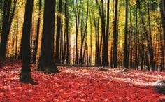 Stunning Colourful Autumn Forest wall mural from Wallsauce. This high quality Colourful Autumn Forest wallpaper is custom made to your dimensions. FREE UK delivery within 2 to 4 working days. Forest Wallpaper, Photo Wallpaper, Wall Wallpaper, Nature Wallpaper, Autumn Forest, Autumn Art, Warm Autumn, Planes, Forest Mural
