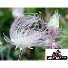 Foliage of prairie smoke or Geum triflorum turns red/purple in fall, http://nsaplants.org/geumtrif.html