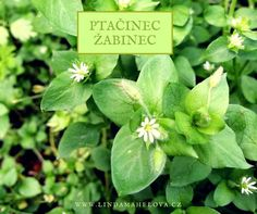 ptačinec žabinec Korn, Plant Leaves, Place Cards, Smoothie, Place Card Holders, Herbs, Health, Nature, Plants