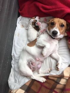 This looks just like our Attie! But, this JRT is a she! Look at her precious pup! What a proud Mama! Perros Jack Russell, Jack Russell Puppies, Jack Russell Terrier, Cute Puppies, Cute Dogs, Dogs And Puppies, Doggies, Rat Terriers, Terrier Puppies