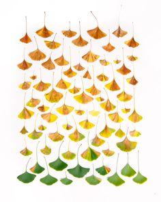 Ginkgo leaf rainbow – Emily Blincoe