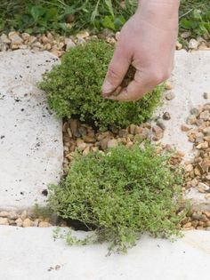 Plant herbs in your paver: You will need the following equipment; You will need a garden rake, a piece of flat timber, permeable landscape fabric, cloth backed adhesive tape, scissors, a spade, your paver (stepping stones) and coarse gravel, 3/4 to 1/2 inch size. You will need enough gravel to fill at a uniform depth of 1 1/4- - 2 inches.