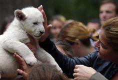 Visitantes acariciam filhote de leão branco de sete semanas de idade, em zoológico de Budapeste, na Hungria. Foto: Laszlo Balogh/Reuters
