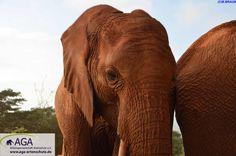 Die kleinen Elefantenwaisen werden in ihrer Zeit in der Auswilderungsstation am Tsavo East Nationalpark auf ein Leben in der Wildnis vorbereitet. Nairobi, Elephant, Animals, Wilderness, Elephants, National Forest, Life, Animales, Animaux