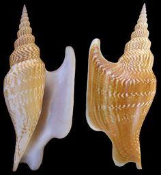 Subgenus Mirabilistrombus Kronenberg, 1999