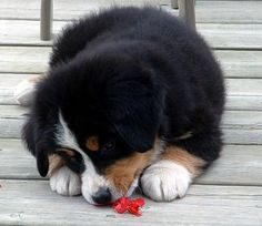 If this Bernese Mountain puppy could be waiting for me Christmas morning with a big red bow... that would be great! Thanks!
