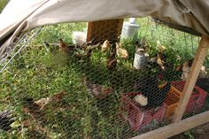 Laying Hens and Roosters | Laying hens in the movable hoop coop