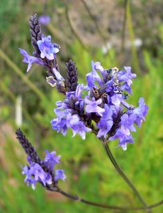 Lavender Canariensis Flower
