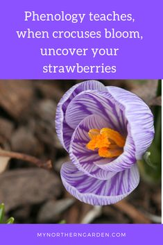 Learn what the study of nature signs says about crocus and strawberries and other plants. Iris Reticulata, Warm Spring, Spring Sign, Spring Activities, Petunias, Pansies, Strawberries, Bloom, Study