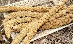 Hirse wird als Basen bildenes Getreide gehandelt und ist ebenso ein Schönheitselixier