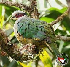 Ptilinopus fischeri - Cerca con Google