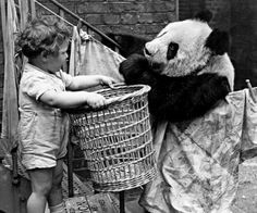 Ming the Panda was featured in propaganda to boost British morale during World War II  hulton/getty