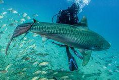 Tiger Shark 050128