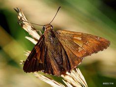 (49) Twitter #SilverSpottedSkipper #butterfly #photographs