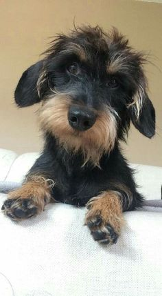 Wire haired Doxie Pup
