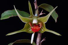 Dendrobium tobaense | Flickr - Photo Sharing!