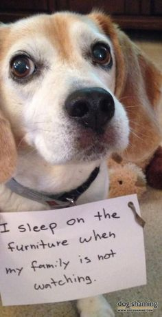 """Miss the #beagle """"sleeps on furniture"""" She knows it's wrong, but sleeps on her family's furniture whenever they're gone!"""