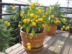 Meyer lemon tree - next year's urban gardening inspiration. Fruit Garden, Garden Trees, Edible Garden, Garden Pots, Fence Garden, Potted Trees, Trees To Plant, Trees In Pots, Lemon Tree From Seed