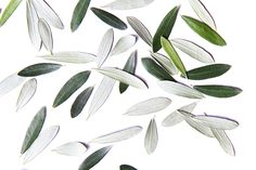 olive leaves  (mary jo hoffman)
