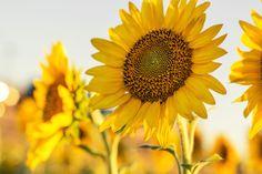 Beautiful sunflowers soaking and radiating sun.
