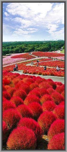 Kokuei Hitachi Seaside Park, Hitachinaka, Ibaraki, Japan #photo by thegoldenscopeit.files.wordpress.com
