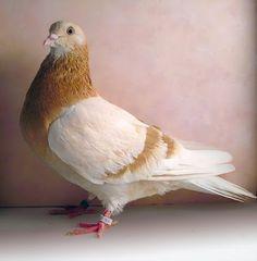 Roller Pigeons   Birmingham Roller Pigeon Pictures