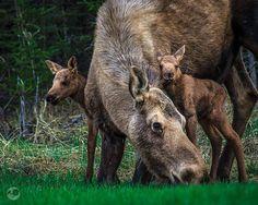 Mama moose and babies.