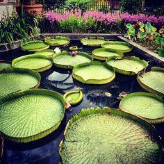 Aquatic plants, Padua Botanical Garden