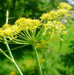 Tenerife Herbs: Fennel is a useful and common medicinal and culinary herb