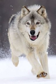 I love wolves, too.  They're so beautiful!  They're the reason the Husky breed of dog is my favorite...