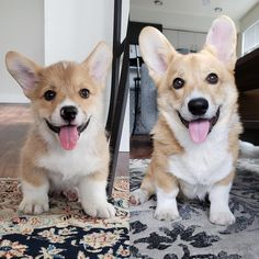 My pup at 2 months when we got him vs. 6 months now. They grow up too fast :( Animals And Pets, Cute Animals, Growing Up Too Fast, 2 Months, When Us, Got Him, Cute Pictures, Dog Lovers, Corgis